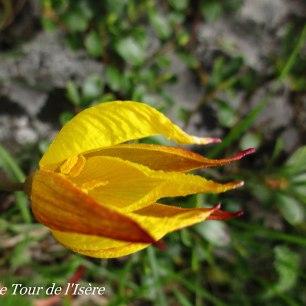 Tulipe Astrale